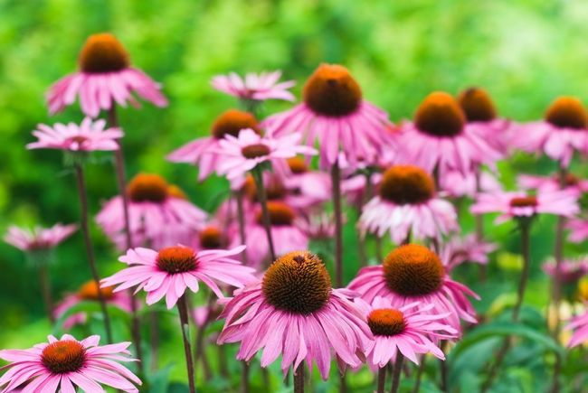 10 Raisons échinacée devrait croître dans tous les jardins