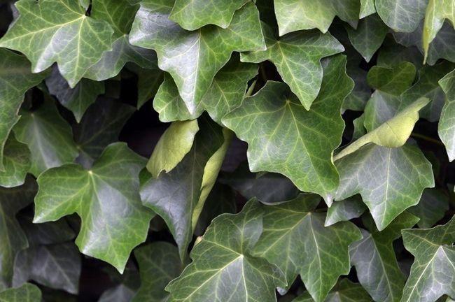 11 Parmi les pires plantes à cultiver dans votre jardin