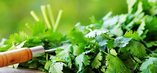 20 Les meilleurs avantages de la coriandre fraîche (Dhaniya) pour la peau, les cheveux et la santé