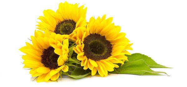 20 Les meilleurs avantages de l`huile de tournesol (surajmukhi tél) pour la peau, les cheveux et la santé