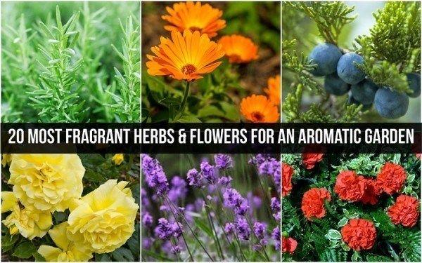 20 Herbes et fleurs les plus parfumées pour un jardin aromatique
