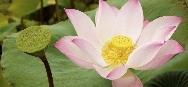 23 Avantages étonnants du lotus (Nelumbo nucifera) pour la peau, les cheveux et la santé