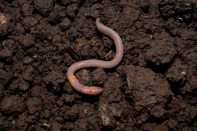 3 Raisons vous avez besoin vers de terre dans votre jardin et comment les attirer