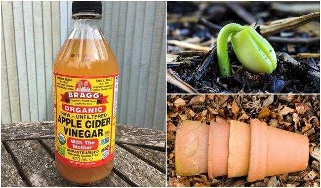 6 Utilisations Brilliant pour le vinaigre de cidre de pomme dans le jardin