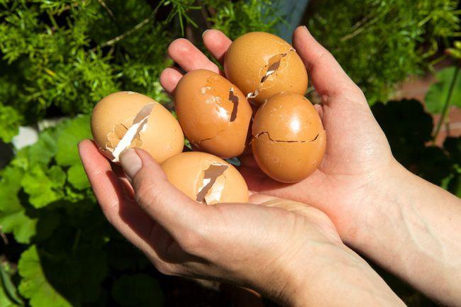 6 Raisons Convaincre vous devriez commencer à utiliser dans votre jardin coquilles d`œufs