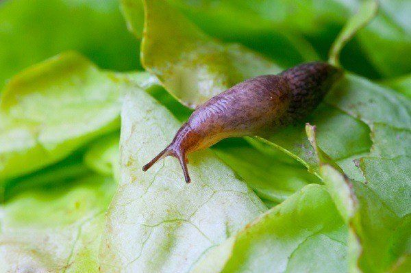 8 Façons naturelles pour garder les limaces de votre jardin