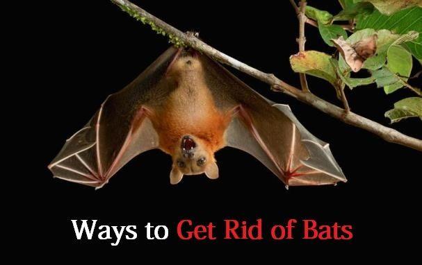 Comment se débarrasser des chauves-souris?