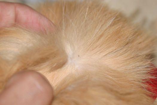 Comment se débarrasser des puces sur les chats?