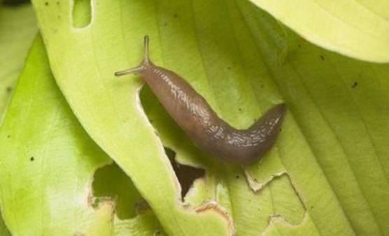 Comment se débarrasser des limaces de jardin?