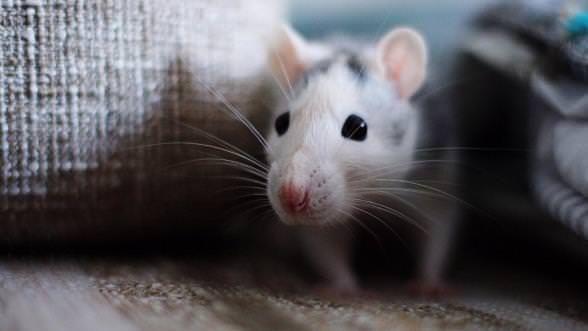 Comment se débarrasser des souris naturellement?