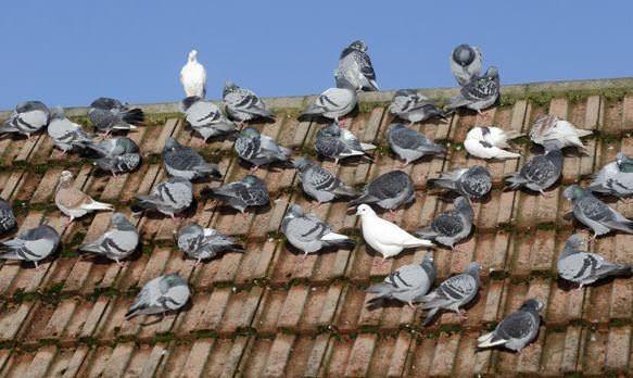 Comment se débarrasser des pigeons naturellement?