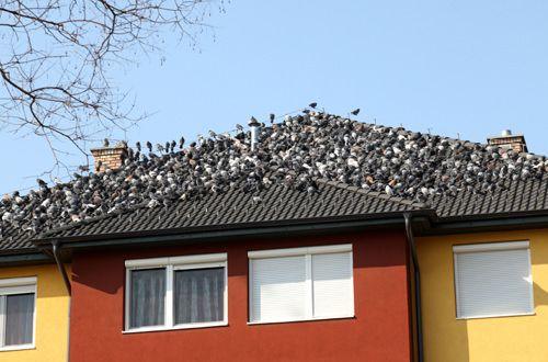 Comment se débarrasser des pigeons?