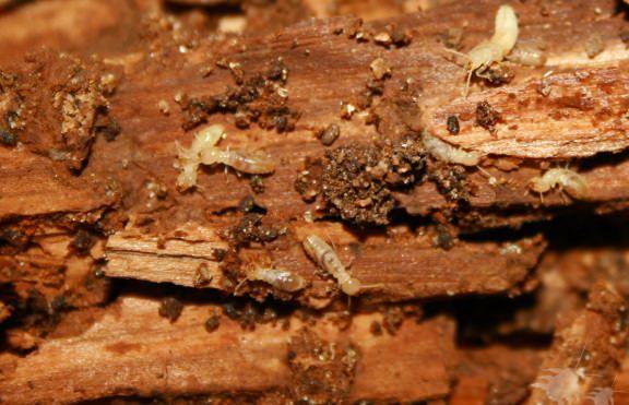 Comment tuer les termites?