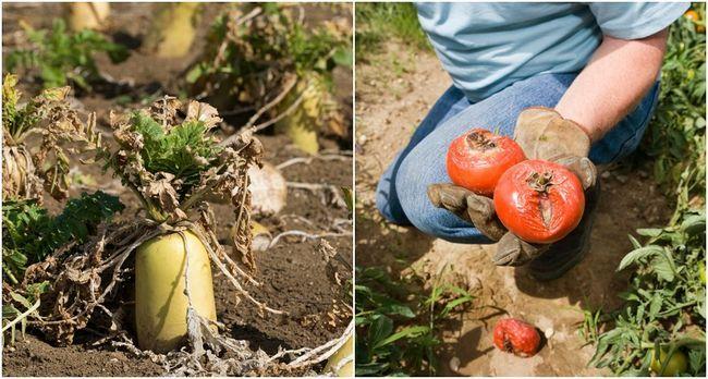 Pourquoi ne sont pas mes légumes de plus en plus? 10 erreurs que vous faites dans le jardin potager